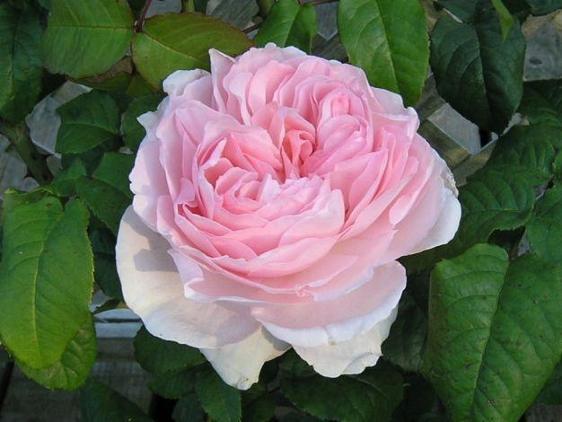 1000 images about da roses on pinterest. Black Bedroom Furniture Sets. Home Design Ideas