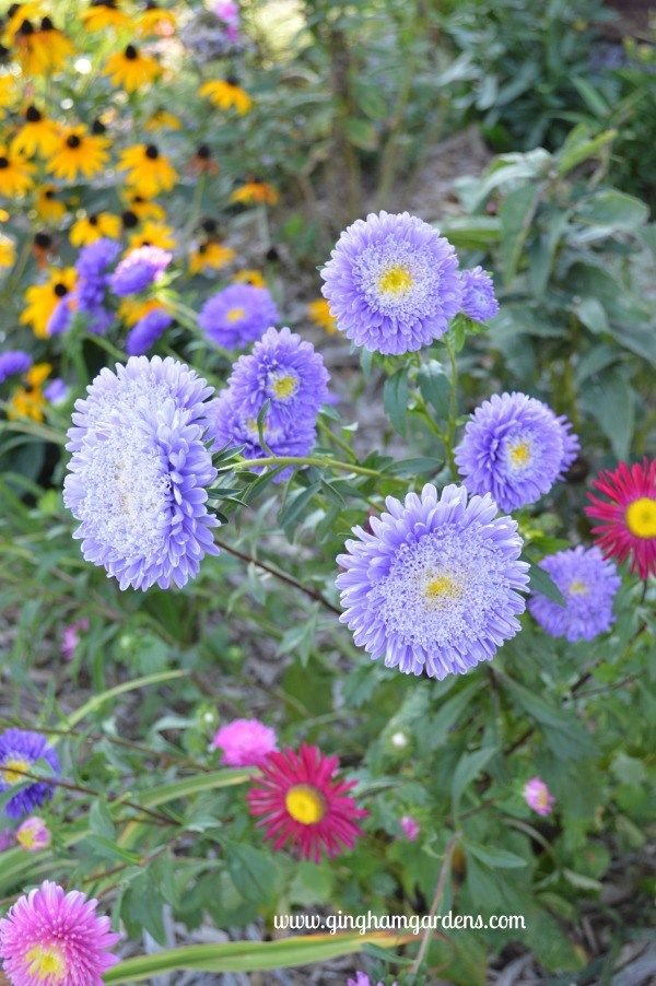 Flower Gardens In September Gingham Gardens Aster Flower September Flowers Flower Garden