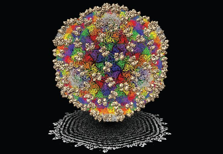 Evolution of Viruses:To cut to the chase, we don't know. Why we don't know is almost as interesting as knowing, though. They're too delicate to fossilize (although I guess the earliest virus evidence found was a plant abnormality from 200 mya). Analyzing their genome doesn't help much either. It's a tangled mess for a couple reasons. One reason is the means by which they sometimes replicate their genome, the reverse transcriptase, is quite error prone. ( author unknown)