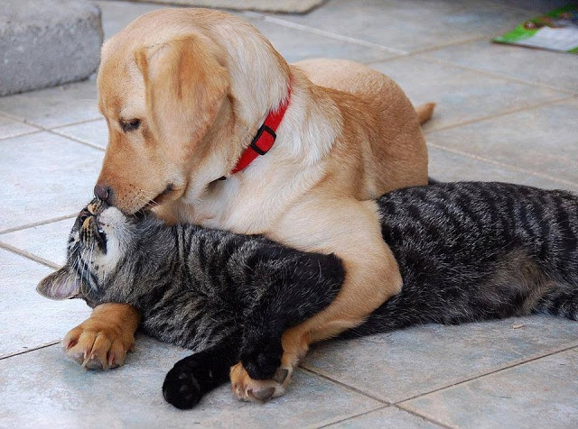 Cat and dog love kiss picture