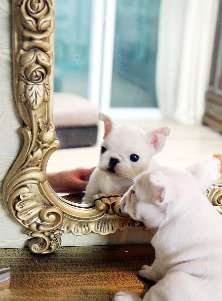 Adorable Amazing Bogie ~ Precious Mini French Bulldog White Male Available!