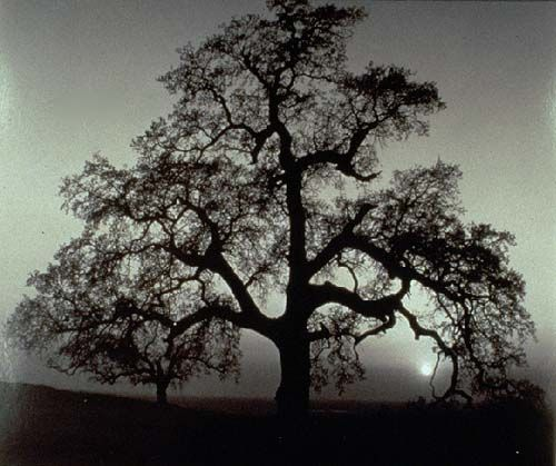 Oak Tree, Sunset City, Sierra Foothills, California, vintage silver print.   Ansel Adams, 1962.