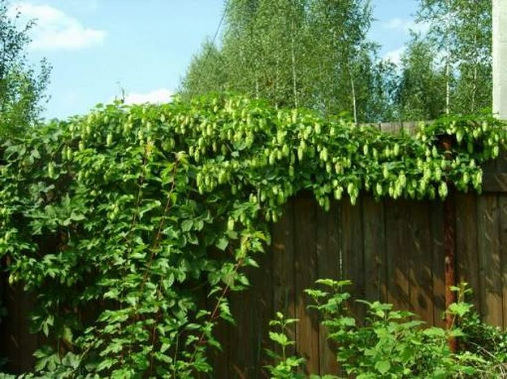 Hops as a hedge