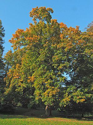 """#Spitzahorn (Acer platanoides) """"Der Spitzahorn (Acer platanoides), auch Spitzblättriger Ahorn genannt, ist eine Pflanzenart aus der Gattung der Ahorne (Acer) innerhalb der Familie der Seifenbaumgewächse (Sapindaceae). Um seine Zugehörigkeit zur Gattung der Ahorne zu betonen, ist in der Botanik die Bindestrichschreibweise Spitz-Ahorn[1] üblich."""""""