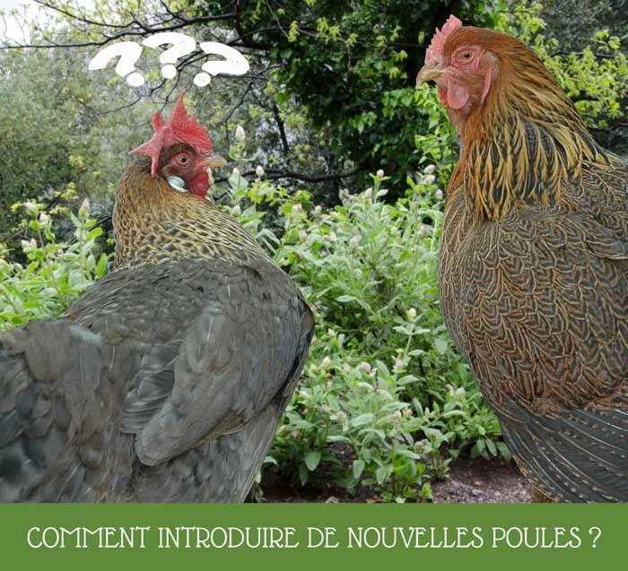Avant d'introduire de nouvelles poules, la première chose est de s'assurer d'avoir suffisamment de place pour tout le monde dans le poulailler avec un parcours clôturé. Ensuite, préparez un espace pour mettre les nouvelles poules en quarantaine. Enfin viendra la rencontre entre toutes les poules.Voici un maximum de conseils pour réussir l'intégration de nouvelles poules dans le poulailler.