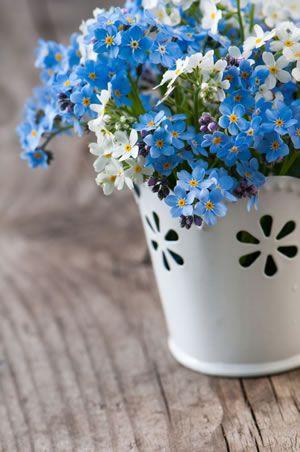 Vergissmeinnicht, Myosotis - Pflanzen und Pflege-Tipps