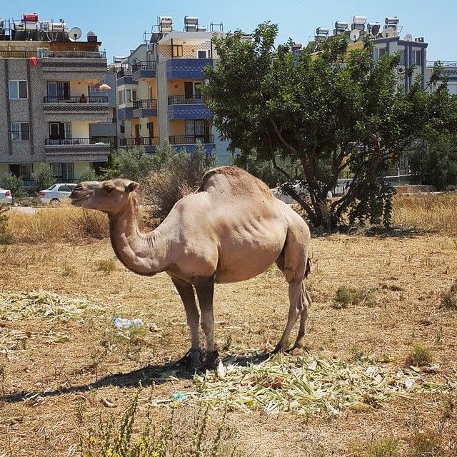 Ha ha, never had a camel in our neighborhood before