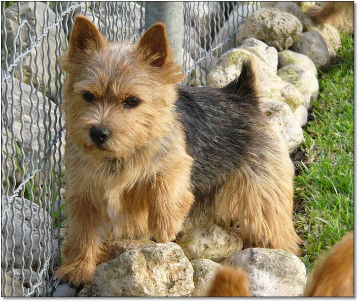 norwich terrier puppies for sale | Puppies For Sale""