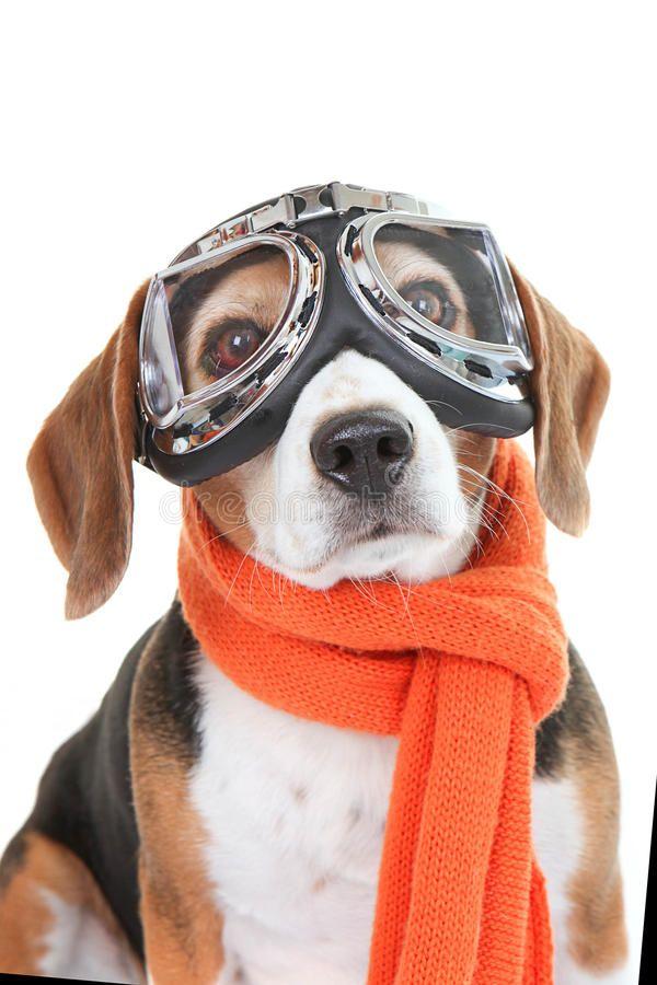 Dog Wearing Flying Glasses Or Goggles Beagle Dog Wearing Flying