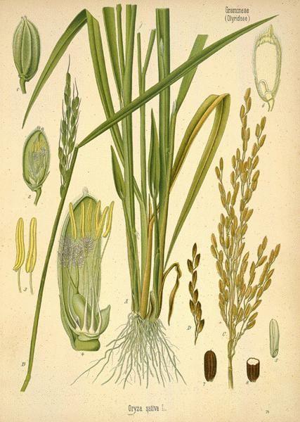 Rice  (Oryza sativa LINN.)