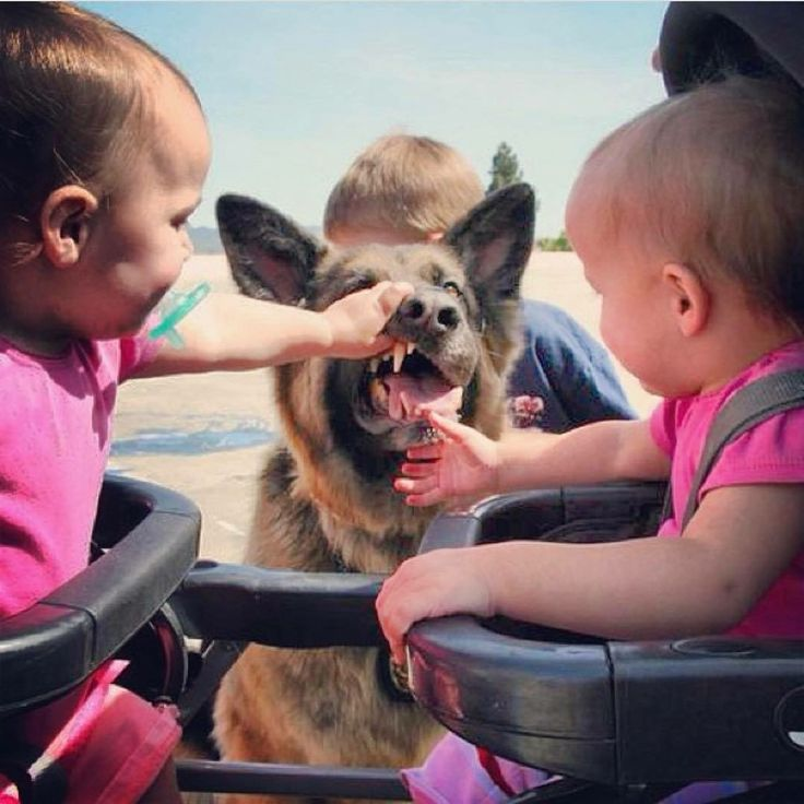 Dental exam for the GSD by the babies.