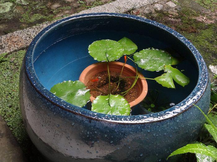 水の濁りが気になるなら、水生植物を鉢に植えたまま睡蓮鉢に入れてみて。これなら水の濁りも分かりやすく、水替えも鉢ごと取り出せるから楽なんです!