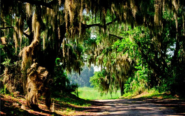 Тилландсия уснеевидная на дереве Аэрофитное растение, лишённое корней и цепляющееся за кору деревьев своими тонкими, почти нитевидными стеблями. Стебли эти покрыты чешуевидными волосками, служащими для всасывания воды[1].  Именно испанский мох придаёт американскому сельскому пейзажу необычный, почти мистический вид, особенно в лунную туманную ночь, когда лунный свет фильтруется сквозь свисающие «бороды», отбрасывающие длинные узкие тени, между которыми пролетают светлячки.