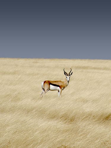 Springbok photographed in Etosha National Park, Namibia