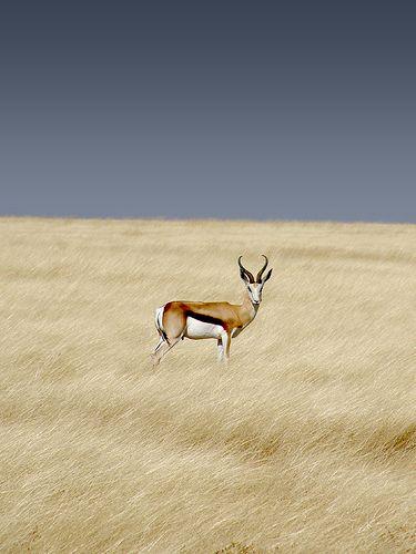 Springbok photographed in Etosha National Park, Namibia
