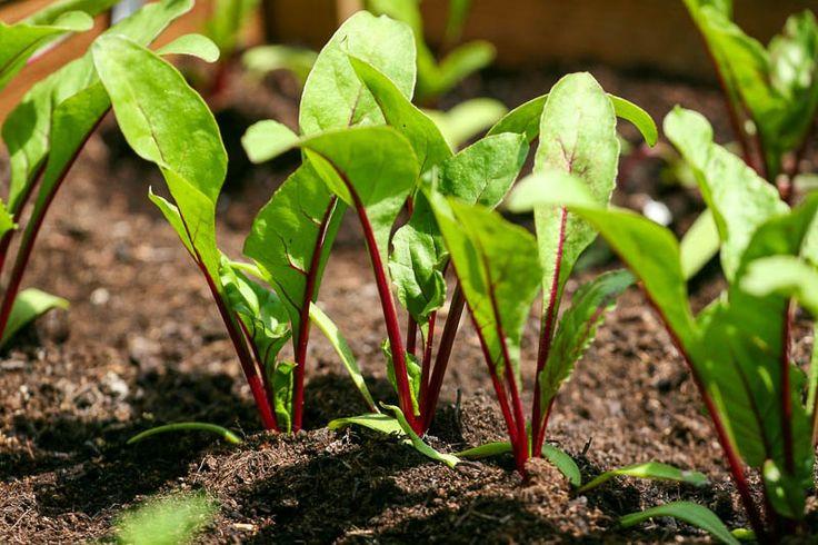 Если свекла растет туговато, значит, ей не хватает питательных веществ и обязанность огородников - помочь растущим молодым растениям.