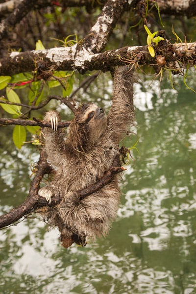 Pygmy sloth. Photo courtesy of ZSL.Three To Sloths, Endangered Species, Pygmy Three To, Más Amenazada, Threeto Sloths, Especial Más, Pygmy Sloths, Pygmy Threeto, Bradypus Pygmaeus