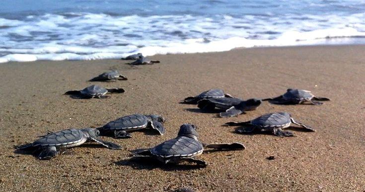 Caretta Caretta babies heading to the sea