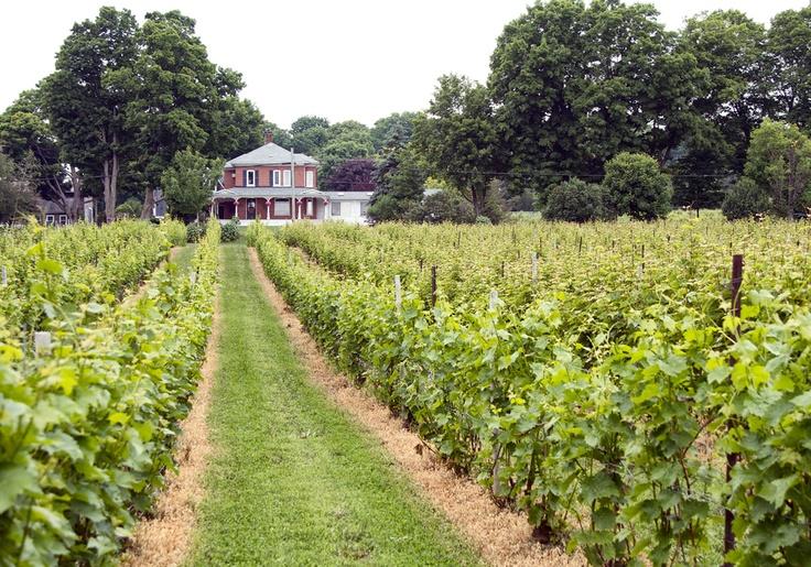 Waupoos Winery vineyard - Picton, Ontario