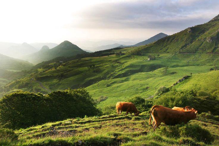 Auvergne sauvage : Entre Ardèche et Haute-Loire, s'étend le Massif du Mézenc, où il n'est pas rare de croiser la plus emblématique des vaches auvergnates, la salers, reconnaissable à sa robe acajou et à ses longues cornes en forme de lyre. ©  CRDT Auvergne-tourisme.info - David Frobert
