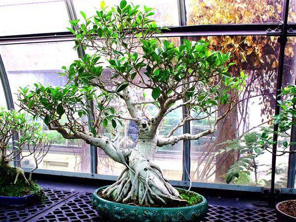 17 best ideas about bonsai ficus on pinterest bonsai. Black Bedroom Furniture Sets. Home Design Ideas