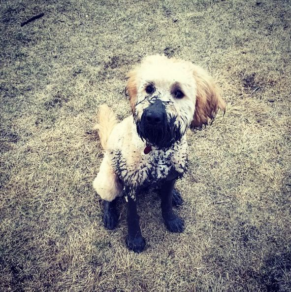 Looks like someone got super muddy... oops! - Charleswood Dog Park Club - Winnipeg, MB - Angus Off-Leash #dogs #puppies #cutedogs #smalldogs #winnipeg #manitoba #angusoffleash #dogparks