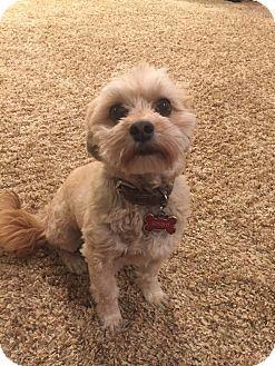 Phoenix, AZ - Havanese Mix. Meet Simba, a dog for adoption. http://www.adoptapet.com/pet/17864407-phoenix-arizona-havanese-mix