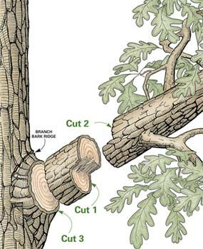 Tree Pruning Tip! The 3-Cut Method is an EXCELLENT way to prune a tree!