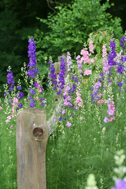 Larkspur in the Photographer's Garden - Photo by By Tina Garrison