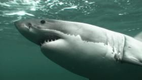 VIDEO & TEACHING RESOURCE.   NIWA explains why it is tagging white sharks.