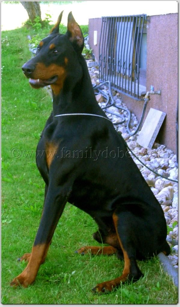 Male Doberman Pinscher Doberman Pinscher Doberman Dogs
