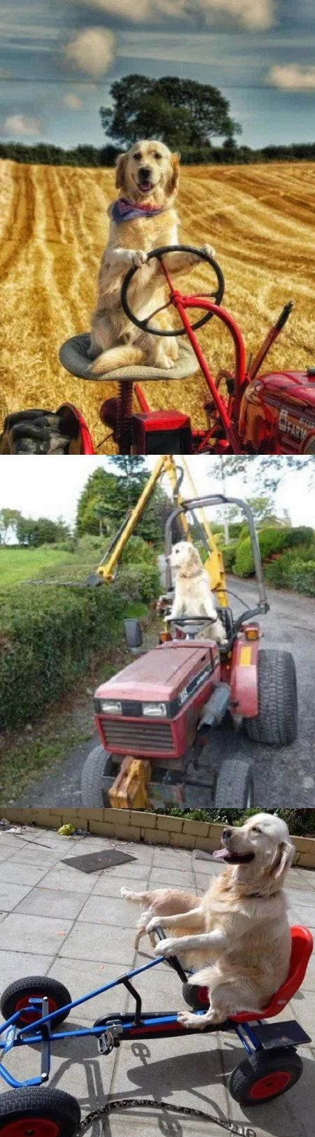 """Gives a whole new meaning to """"working dog""""   Wonder how long it'll take him to jump down once it's started up."""