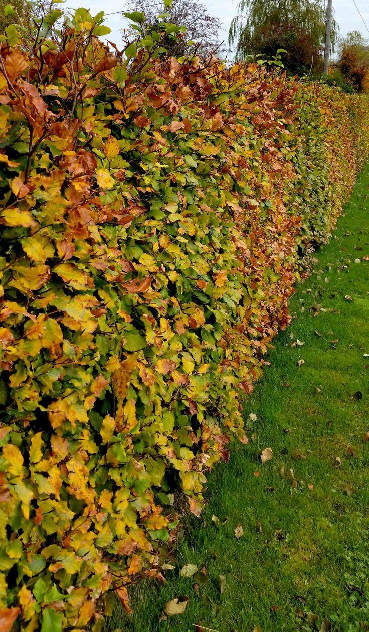 The 25 best Beech hedge ideas on Pinterest