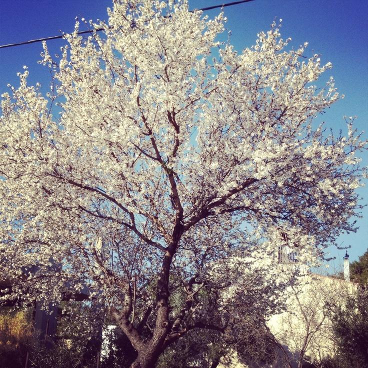Almond tree. Deciduous, very tough.