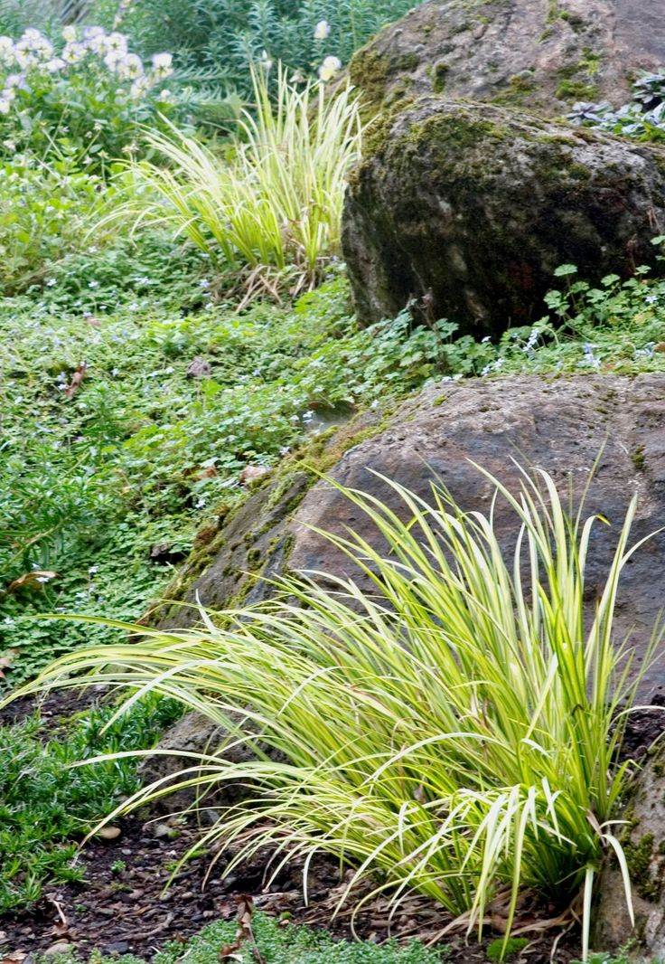 197 best images about ornamental grasses on pinterest for Ornamental grass yellow
