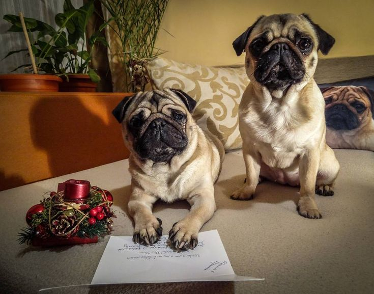 Thank you Button and Jean for the Holiday Card  #mauricethepug #bubble #queenb #buttonandjean #thankyou #holidaycard #friends #surprise #pugstory #pugchat #puglife #pug #mops #dog #puppy #romania #tirgumures