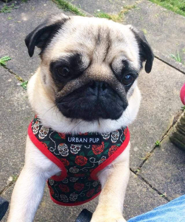 Urban Pup Skulls Roses Soft Harness Available At Www Ilovepugs