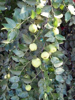 GA 866 Jujube Tree - Jujube Trees - Willis Orchard Company