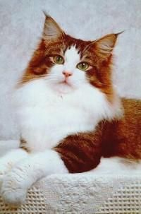 "Nissekatt Norwegian Forest cat -This looks like the first cat I ever ""owned"". Her name was Sweetheart."