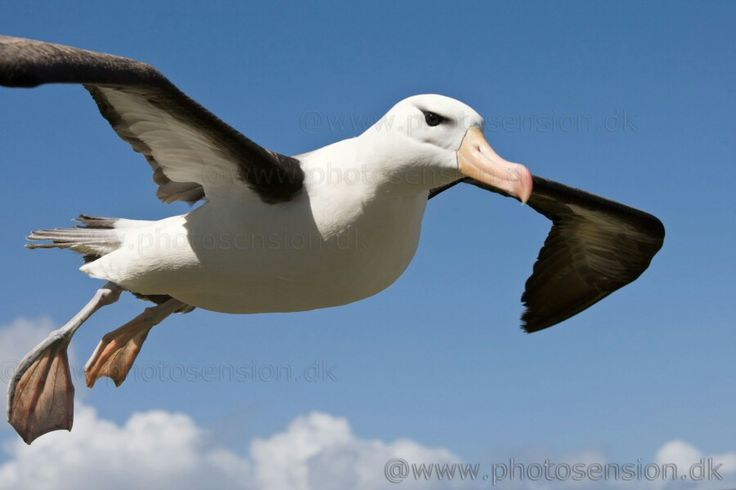 If I had an albatross I would name him Sven. #albatross