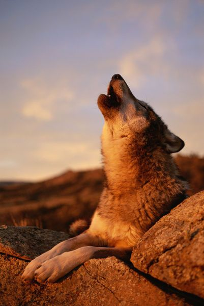 National Geographic: A howling gray wolf in the desert #animals