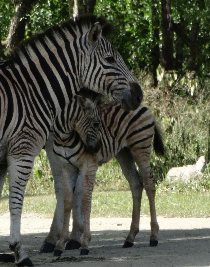 Zebra, mare and foal nursing, SA