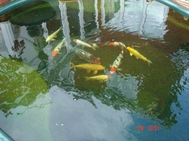 96 best koi pond for sale images on pinterest koi ponds for Koi carp ponds for sale