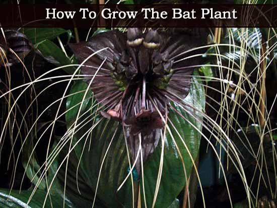 How To Grow The Bat Plant