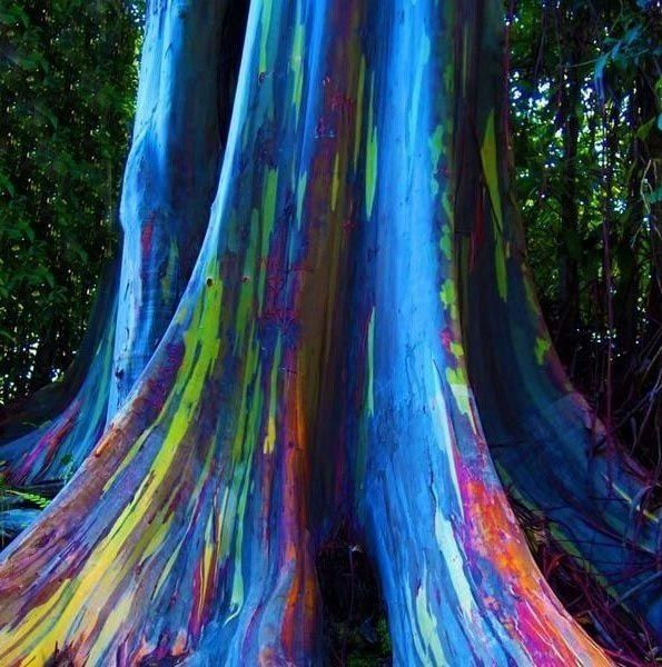 Eucalipto Arco-íris - Jardim Exótico - O maior portal de mudas e sementes do Brasil.