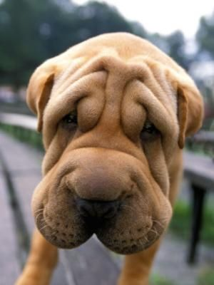 Chinese Shar-Pei: Chine Sharpei, Happy Faces, Chine Shar Pei, Sad Faces, Old Dogs, Puppies Dogs Eye, Wrinkle Cream, Dogs Lovers, Baby Faces