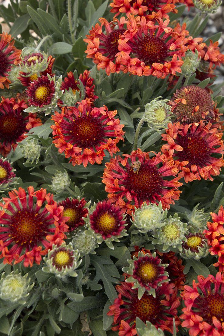 Fanfare Blaze Blanket Flower - Monrovia - Fanfare Blaze Blanket Flower