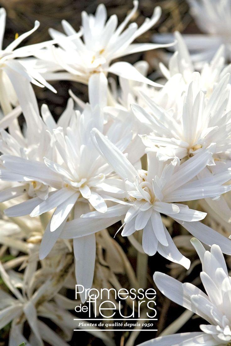 http://www.promessedefleurs.com/floraisons-automnales/colchiques/colchique-autumnale-album-p-326.html - Le Colchique Autumnale Album est vivace vigoureuse d'automne. Ses fleurs très doubles étoilées sont d'un blanc pur et immaculé. #colchique #whiteflowers #whitegarden #automne #fleurs #jardin