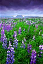 アイスランド、ラベンダー畑紫色の花 iPhoneの壁紙