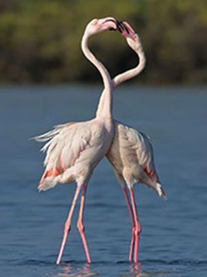Delta del Po Un'elegante coppia di fenicotteri rosa (Foto Michele Pietrangelo)